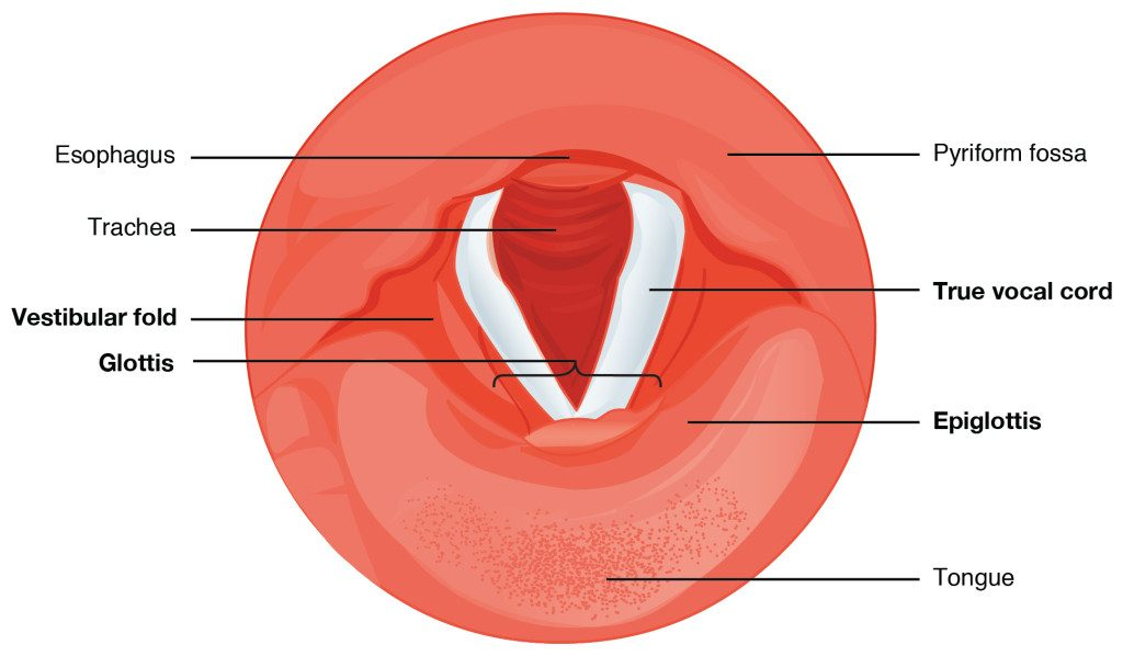 Cartilages-Of-The-Larynx-Vocalzone